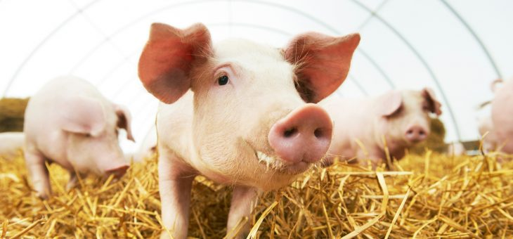 Fermented feed can replace zinc in pig feed